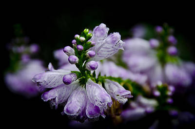 Photograph - Purple by Johnny Lam