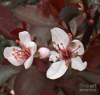 Photograph - Purple Leaf Sand Cherry Burst by Brenda Brown