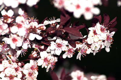 Photograph - Purple Leaf Sand Cherry Tree by Bj Hodges