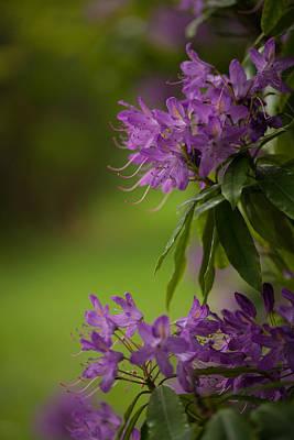 Rhodies Photograph - Purple Light by Mike Reid