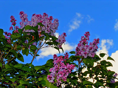 Photograph - Purple Lilac by George Tuffy