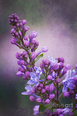 Purple Lilacs Art Print