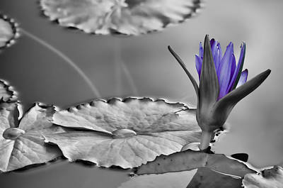 Photograph - Purple Lily by Don Schwartz