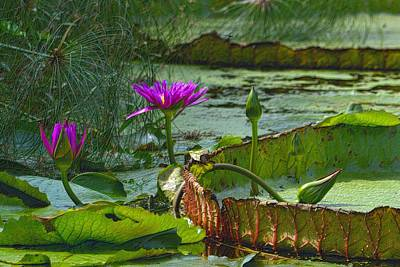 Photograph - Purple Lotus On The Pond by Nadalyn Larsen