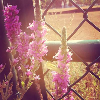 Purple Photograph - Purple Loosestrife by Christy Beckwith