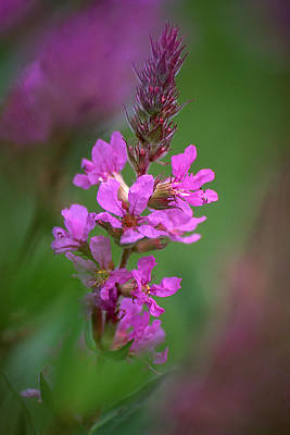Photograph - Purple Loosestrife by Dale Kincaid