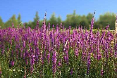 Photograph - Purple Loosestrife by R B Harper