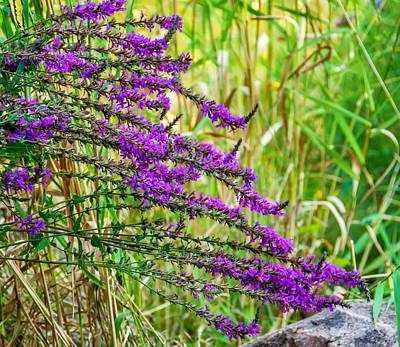 Weeds Photograph - Purple Loosestrife by Steve Harrington