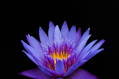 Photograph - Purple Lotus by Sean Allen