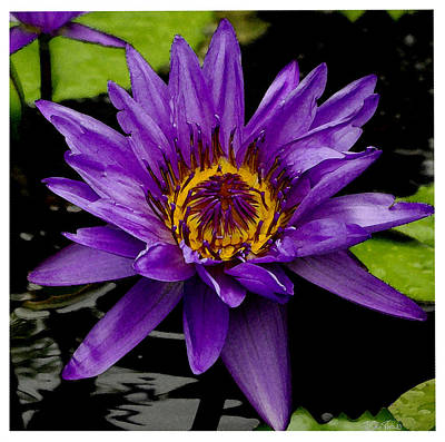 Photograph - Purple Lotus Water Lilies by James C Thomas