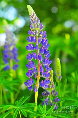 Purple Lupine Art Print by Catherine Reusch Daley