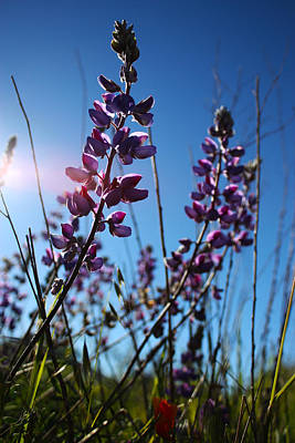 Print featuring the photograph Purple Lupine by Richard Stephen