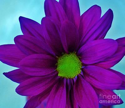 Gerber Daisy Photograph - Purple Macro Gerber by Marsha Heiken