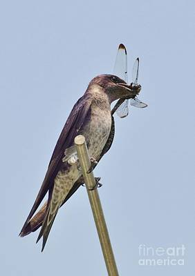 Photograph - Purple Martin Female And The Dragonfly by Kathy Baccari