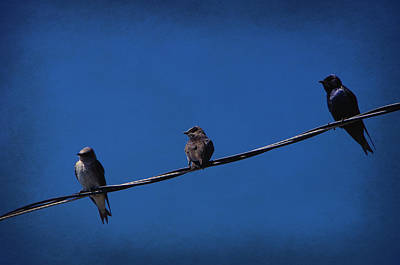 Purple Martin Trio Art Print