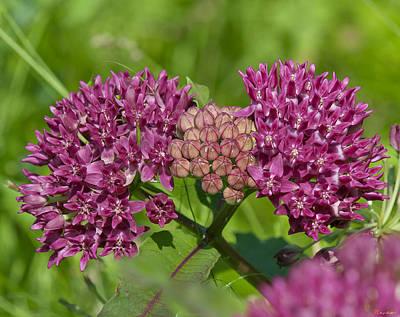 Photograph - Purple Milkweed Flowers Dsmf188 by Gerry Gantt