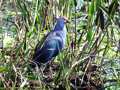 Photograph - Purple Moorhen by Peggy King