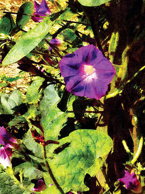 Photograph - Purple Morning Glory by Susan Savad