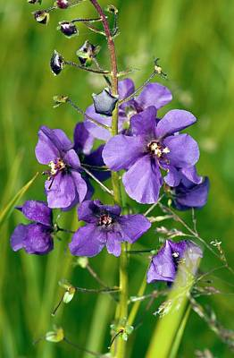 Purple Mullein (verbascum Phoeniceum) Art Print by Bob Gibbons