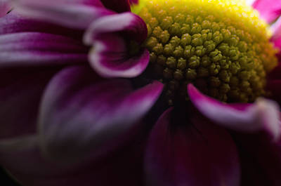 Photograph - Purple Mum Macro by Jim Shackett