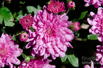 Photograph - Purple Mums by Cassie Marie Photography