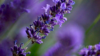 Photograph - Purple Nature - Lavender Lavandula by Eva-Maria Di Bella