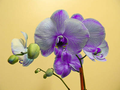 Purple Orchid Art Print by Christy Usilton