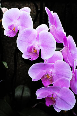 Photograph - Purple Orchid by Michael Porchik
