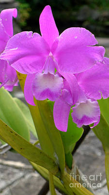 Photograph - Purple Orchid by Mukta Gupta