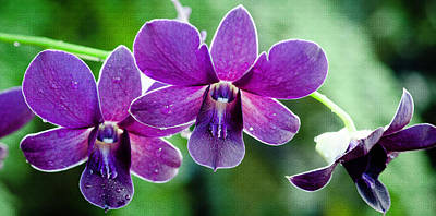 Crystal Wightman Rights Managed Images - Purple Orchids Royalty-Free Image by Crystal Wightman