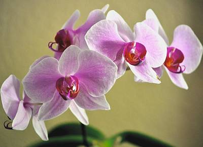 Photograph - Purple Orchids by Kristina Deane