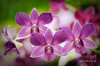 Flora Photograph - Purple Orchids by Oscar Gutierrez