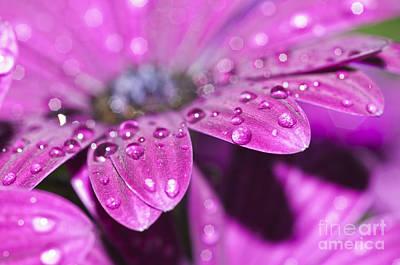 Flower Photograph - Purple Osteospermum 4 by Steve Purnell