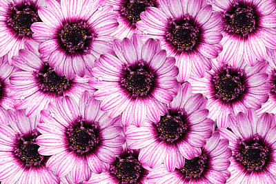 Photograph - Purple Osteospermum by Michael Porchik