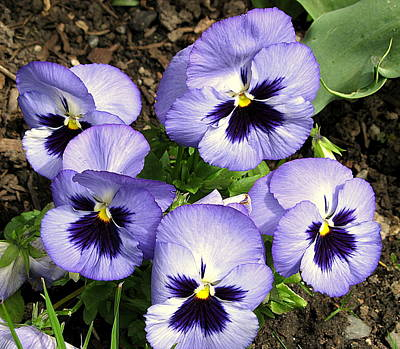 Photograph - Purple Pansies by Brian Chase