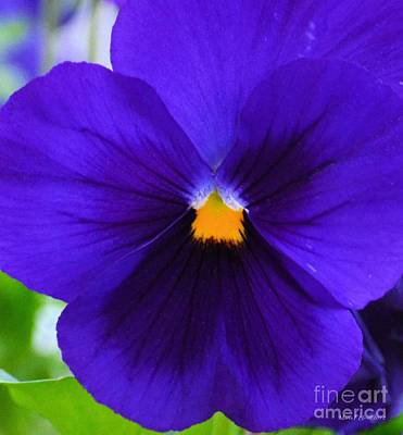 Photograph - Purple Pansy Closeup by Maria Urso