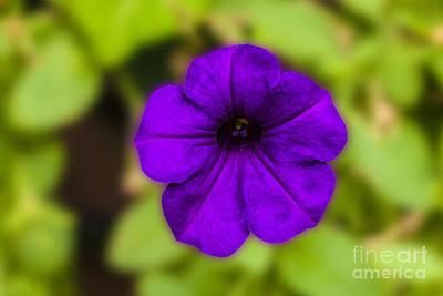 Photograph - Purple Pansy by Michael Waters