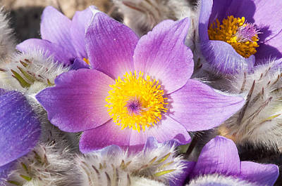 Photograph - Purple Pasque Flower In Spring by Matthias Hauser