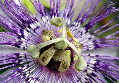 Photograph - Purple Passion Flower Close Up  by Taiche Acrylic Art