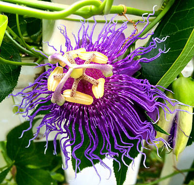 Photograph - Purple Passion Flower by Kristina Deane