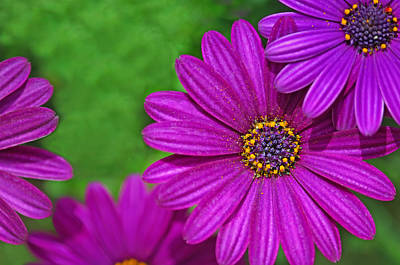 Photograph - Purple Passion by Joan Herwig