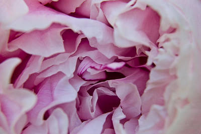 Photograph - Purple Peony by Cara Moulds