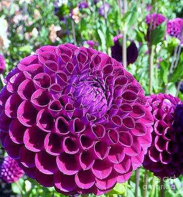 Photograph - Purple Perfection Dahlia Flower by Susan Garren