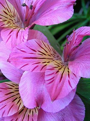 Photograph - Purple Peruvian Lilies by Diane Alexander