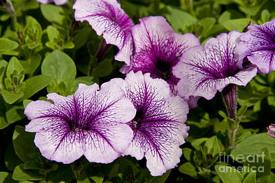 Photograph - Purple Petunias by Jill Lang