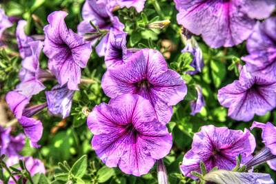 Floral Photograph - Purple Petunias by Ken Reardon