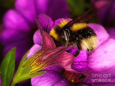 Animals Royalty-Free and Rights-Managed Images - Purple petunias with a bumblebee by Nick  Biemans