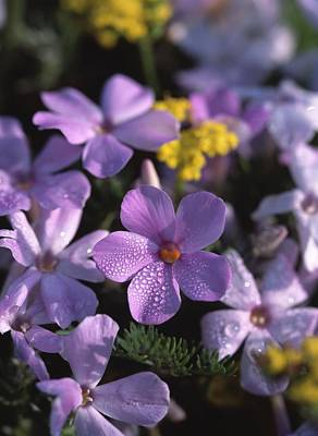Purple Phlox Art Print by Natural Selection Robert Potts