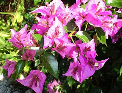 Photograph - Purple Pink Bougainvillia In Blossom by Tracey Harrington-Simpson