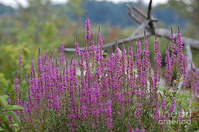 Photograph - Purple Pleasures by Bianca Nadeau